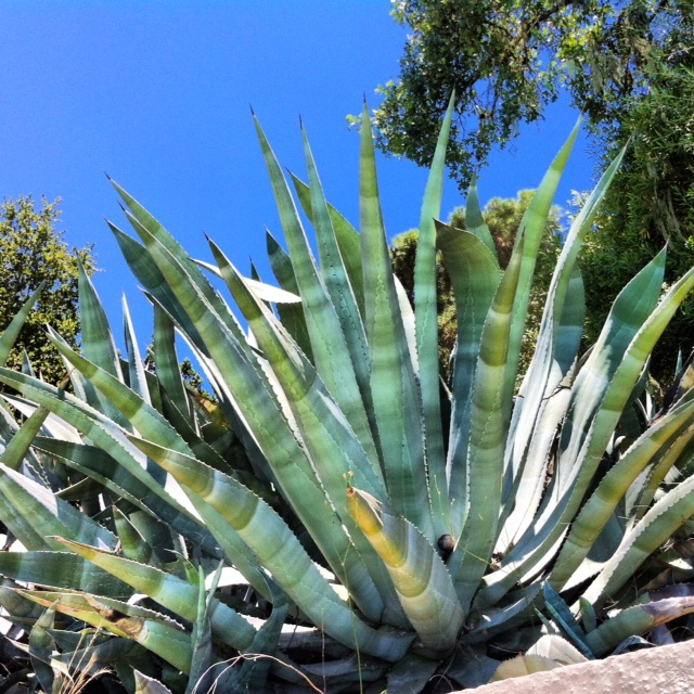 Awesome agave