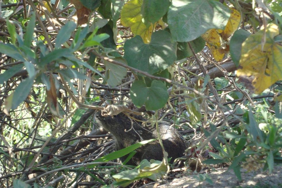 Wild guinea pig